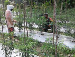 Serda Yunus Suyanto Membantu Bapak Mujahidin Rawat Tanaman Cabe